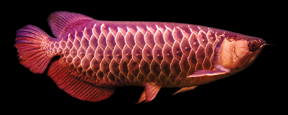 High Back Golden Arowana-Small.jpg